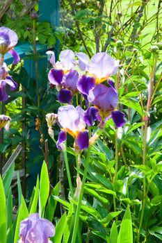 Sunlit iris flowers in a garden