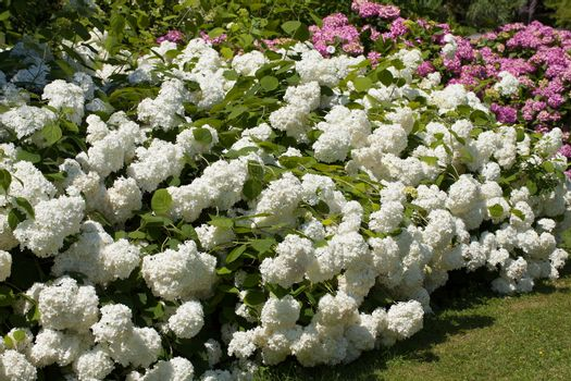 lilac and white bushes of great blossoming hortensias in the garden