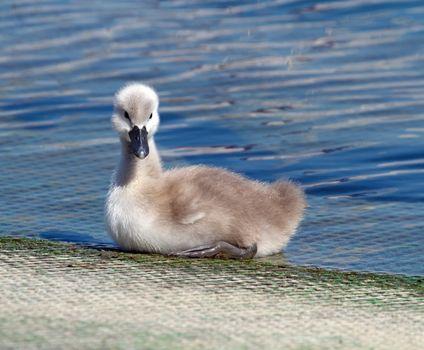 Baby mute swan, cygnus olor