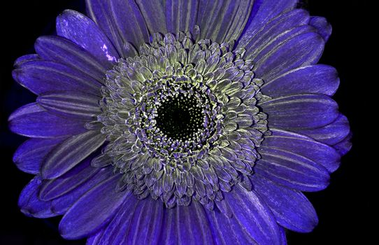 Gerbera jamesonii in ultraviolet light