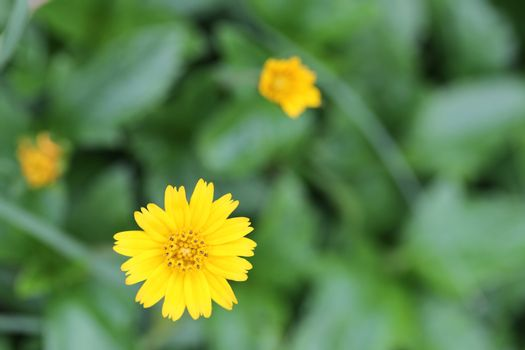 Yellow flowers on a backdrop of green foliage in the garden.