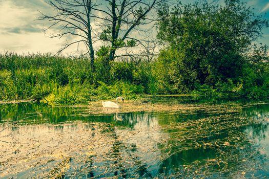 Mute swan in a beautiful lake