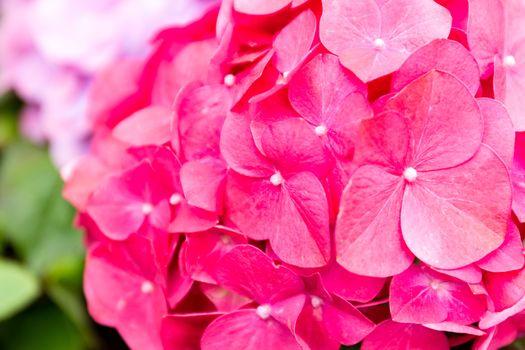 Hydrangeas flower close up