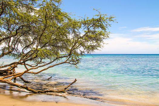 Tree growing over ocean in the beautiful Maui beach
