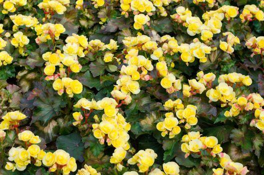 Yellow color begonia, Botanic garden
