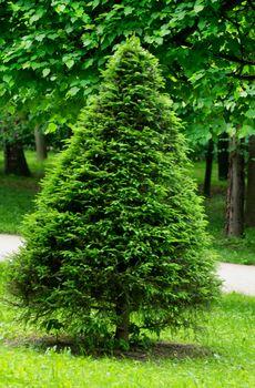 Trapezoidal Spruce