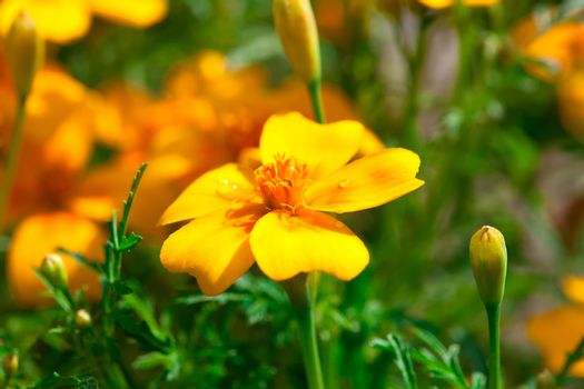Tagetes is perennial, mostly herbaceous plants in the sunflower