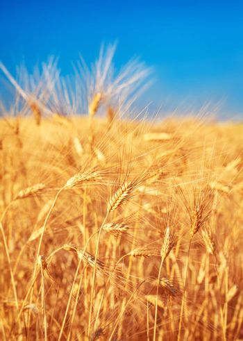 Wheat field landscape, closeup on a rye over blue sky, agriculture industry, beauty of nature at autumn, harvest season