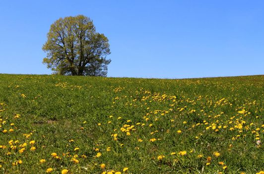 The lonely tree on the meadow