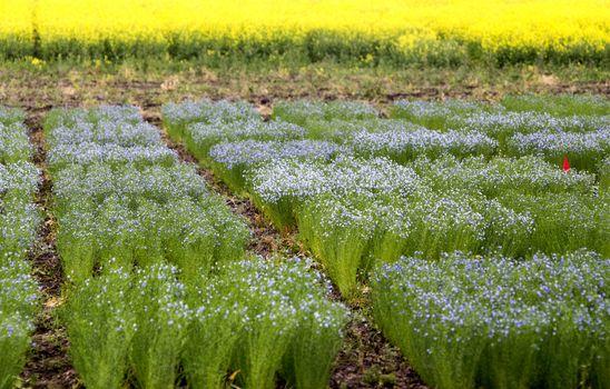 Flax Crop Saskatchewan
