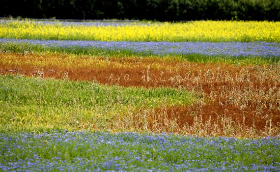 Flax and canola field