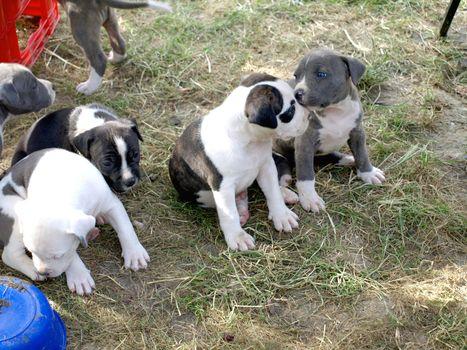 puppies stafford