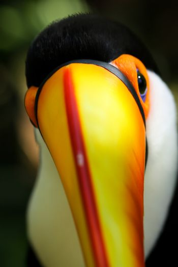 Toucan looking at you