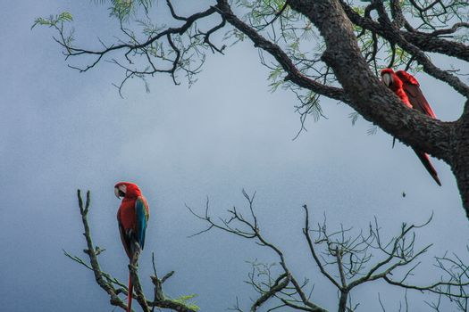 Scarlet macaws in trees