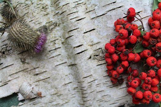 Rowan and thistle on a birch bark