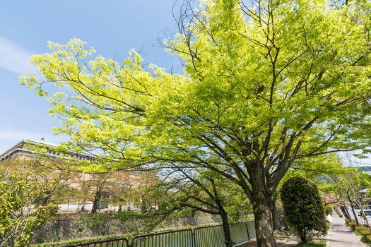 Emerald green cherry trees