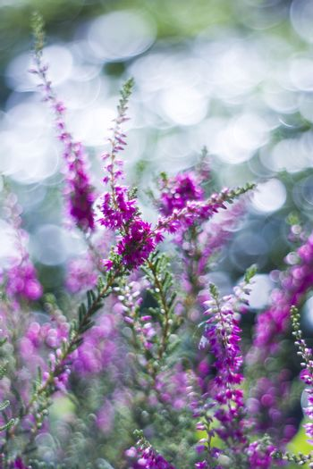 Autumnl heather with bokeh