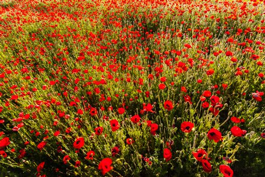 Poppy flower field from a zenith point of view