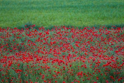 poppy flowers overwhelming a green meadow