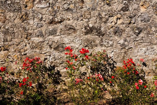 Nice image with a raw of wild rose plants bordering a textured wall in the french region of Dordogne