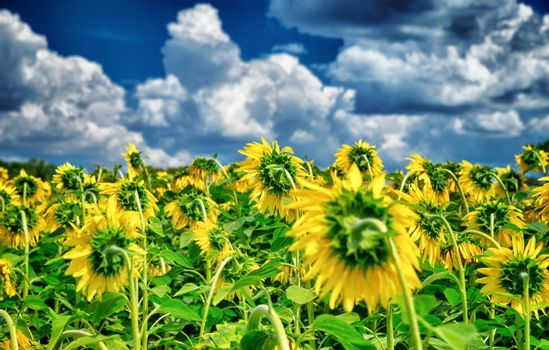 Fresh sunflower field