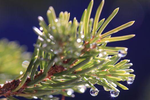 Pine tree water droplets