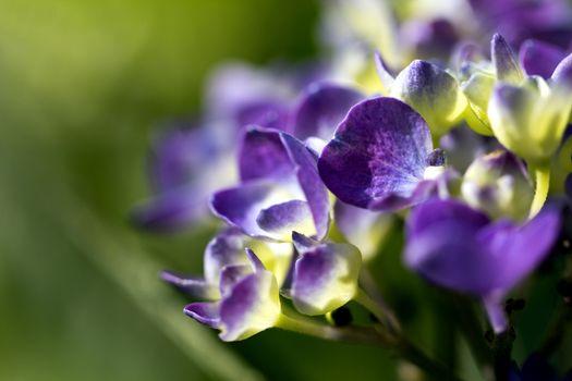 violet flowers of hortensia in the garden on green background - macro