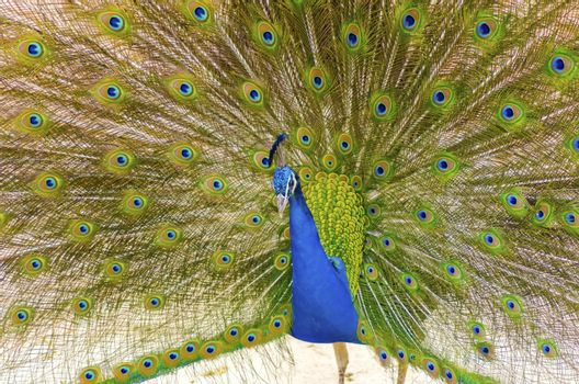 A profile view of a male peacock displaying. Male peafowls are distinct for their bright metalic blue crown, the fan shaped crest on the head and the elongated upper tail covets on their train made up of eye spot feathers.