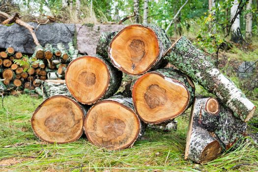 Pile of cut birch logs