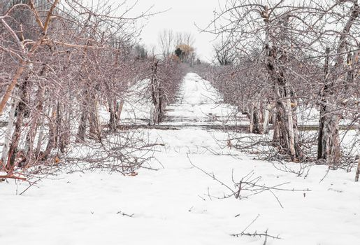 Small Apple Trees During Wintertime