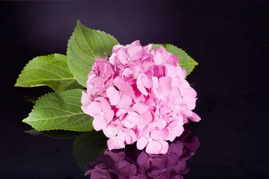 single pink hortensia on black background