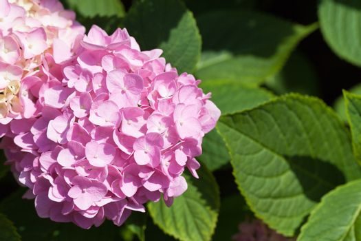 lilac flowers of great blossoming hortensias in the garden