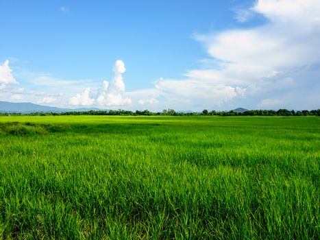 nature landscape of rice field in Thailand