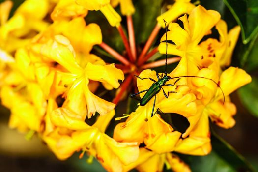 green insect on yellow flower in tropical forest,shallow focus