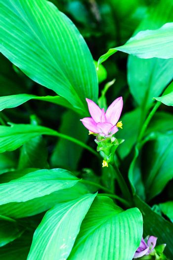 pink patumma flower in tropical forest,shallow focus