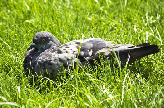 Photo of The Single Pigeon in Green Grass