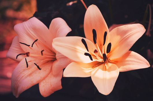 Photo of the Two Lily Flowers in Pink