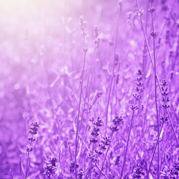 Photo of The Lavender Field