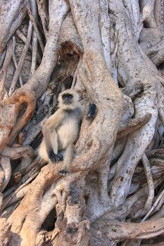 Gray langur (Semnopithecus dussumieri) sitting in a big tree, Ra