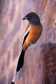 Rufous treepie (Dendrocitta vagabunda) sitting at Ranthambore Fo