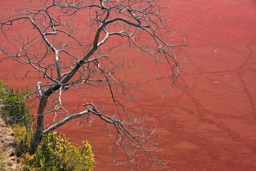 Tree without leaves against red pond, Ranthambore Fort, India