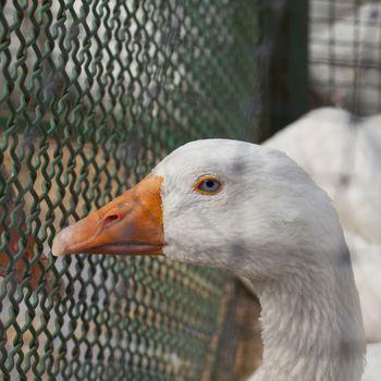 Blue eyed duck