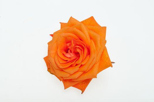 orange single rose isolated on white background