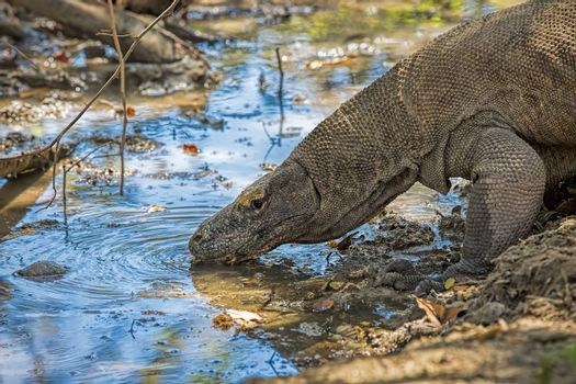 Komodo Dragon drinking water in the wild on Komodo Island