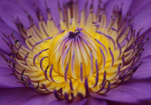closeup of Lotus flower or Waterlily