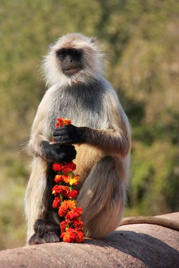 Gray langur (Semnopithecus dussumieri) sitting with flowers at R