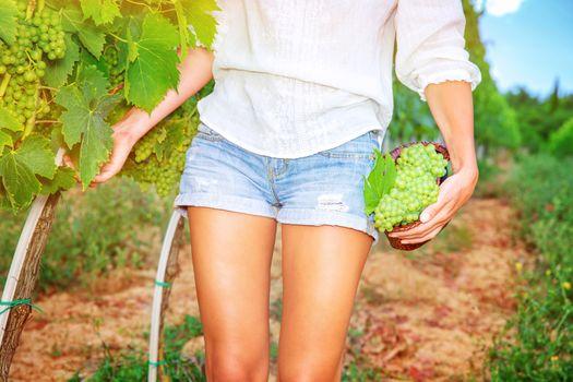 Picking sweet ripe grapes