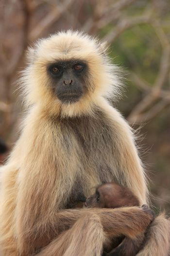 Gray langur (Semnopithecus dussumieri) with a baby sitting at Ra