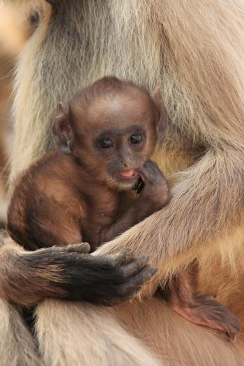 Baby Gray langur (Semnopithecus dussumieri) resting in mothers a