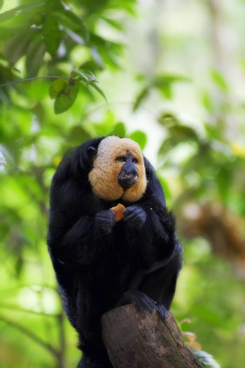 White-faced Saki Monkey sitting in the treetops